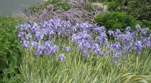 Irises How To Plant Grow by Growing Bearded Iris The High Country Gardens Blog