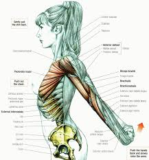 Female Abdomen Anatomy Diagram Stretching How To Stretch The Anterior Deltoid Muscle Fitness