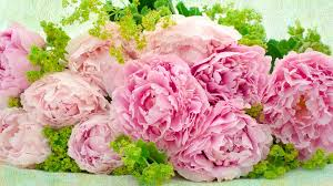 pink peonies gomi pink peony wallpapers 57 images