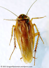 light brown roach looking bug why cockroaches will survive a nuclear holocaust the dragonfly woman