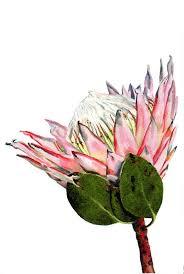 Protea Flower Best 25 Protea Flower Ideas On Pinterest King Protea Exotic