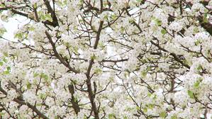 sea of cherry white blossom with new tiny green leaves waving in