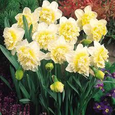buy daffodil ice king plants j parker dutch bulbs