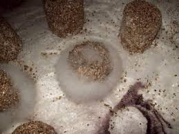 White Mildew In Basement How To Tell The Differences Between Mycelium And White Contam Mold