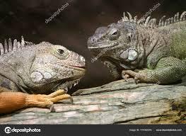 imágenes de iguanas verdes dos iguanas verdes iguana iguana parque zoológico duisburg renania