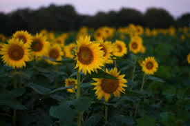 Grinter Farms Grinter U0027s Sunflowers Back In Bloom News Kansan Com