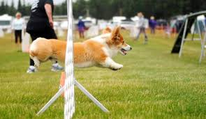 afghan hound agility best in show peninsula clarion