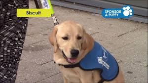 Sponsor A Puppy For The Blind Sponsor A Puppy Biscuit U0027s Puppy Gallery Guide Dogs