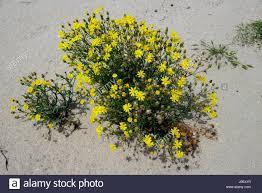 middle east desert flower stock photos u0026 middle east desert flower