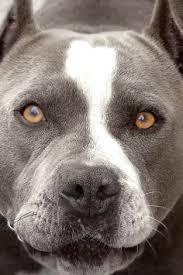 american pitbull terrier kingfish bloodline biggest pitbull on record 400 huge bully pitbull pit bull jpg