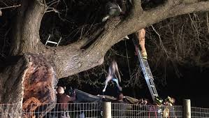 bluetick coonhound climbing tree 120 pound great dane puppy gets stuck in a tree dogtime