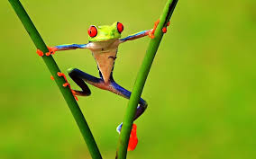 colorful tree frogs wallpaper