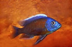 Okeanos Aquascaping Freshwater Fish Livestock Discus U0026 African Cichlids Okeanos Nyc