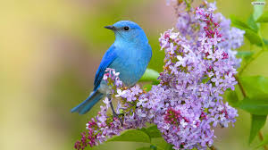 bird wallpapers blue bird wallpaper birds pinterest wallpaper and wallpaper
