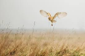 why do barn owls divorce u2013 national geographic society blogs