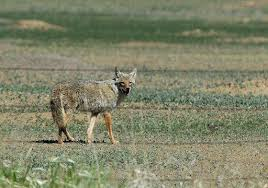 Coyote In My Backyard In Two Months Three Coyote Attacks On Kids In Broomfield U2013 The