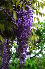 hata3 u0027s photo haiku flower of wisteria fuji
