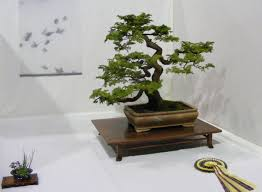 bonsai tree free stock photo public domain pictures