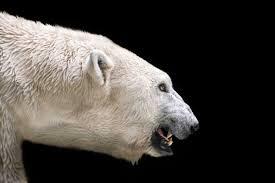 how one man escaped a polar bear attack reader u0027s digest
