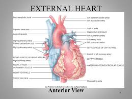 External Heart Anatomy Chapter 15 The Cardiovascular System Ppt Video Online Download