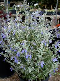 native plants for butterfly gardening benton soil u0026 water v is for vitex or chaste tree vitex is used as a medication for