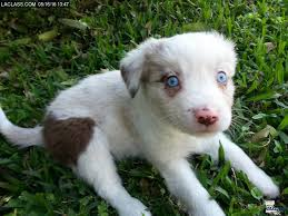 miniature australian shepherd 8 weeks louisiana free classifieds pets free ads