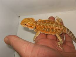 reptile forums single nw england superb orange tiger