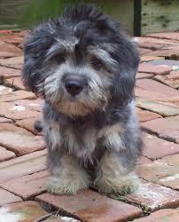 Tiny Tiny Best 25 Tiny Dog Ideas On Pinterest Tiny Puppies Teacup
