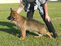 belgian shepherd nz news and brags
