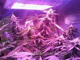 led marijuana grow lights led grow lights make growing marijuana easy or do they toke