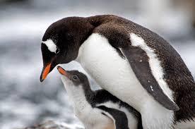 gentoo penguin facts gentoo penguins habitat gentoo penguins diet