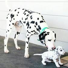 25 dalmatian dogs ideas dalmatians dalmatian