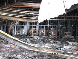 Barn Fires Barn Fires U2013 Canadians For Ethical Treatment Of Farmed Animals