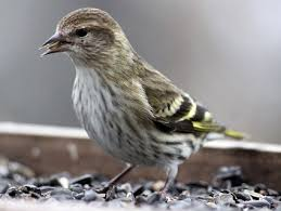 Nj Backyard Birds by Pine Siskin Identification All About Birds Cornell Lab Of
