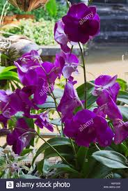 common thai purple orchid flower belonging to the orchidaceae a