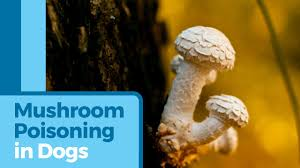mushroom poisoning in dogs poisonous mushrooms for dogs petmd