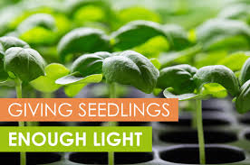 Plants That Dont Need Light How To Give Seedlings Enough Light To Be Healthy Upstart University