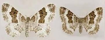 Wood Carpet Wood Carpet Epirrhoe Rivata Norfolk Moths The Macro And