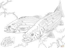 striped bass coloring page free printable coloring pages
