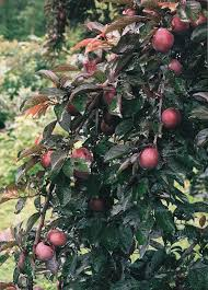 51 best fruits images on fruit trees fruit and