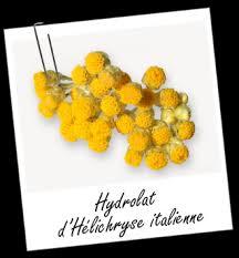 immortelle d italie cuisine hydrolat d hélichryse italienne de corse bio propriétés et