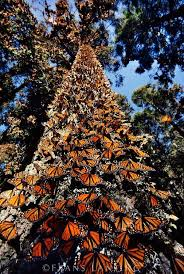 beautiful monarch butterflies nature butterfly moth