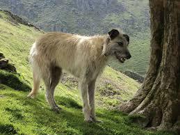 afghan hound vs wolfhound lurcher wikipedia