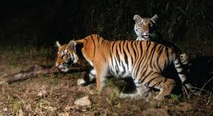 study confirms home to tiger population