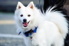 american eskimo dog energy level japanese spitz