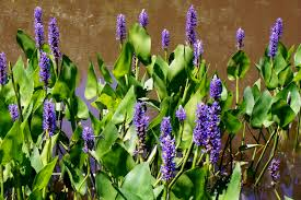 missouri native plants water plants millpond plants