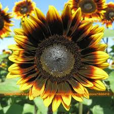 33 best sunflowers images on fresh flowers sunflowers