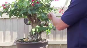 pot bonsai design how to bonsai bougainvillea restyling the tree youtube