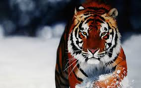 7 siberian tiger hd wallpapers background images wallpaper abyss