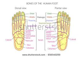 Anatomy Of The Calcaneus Skeleton Foot Stock Images Royalty Free Images U0026 Vectors
